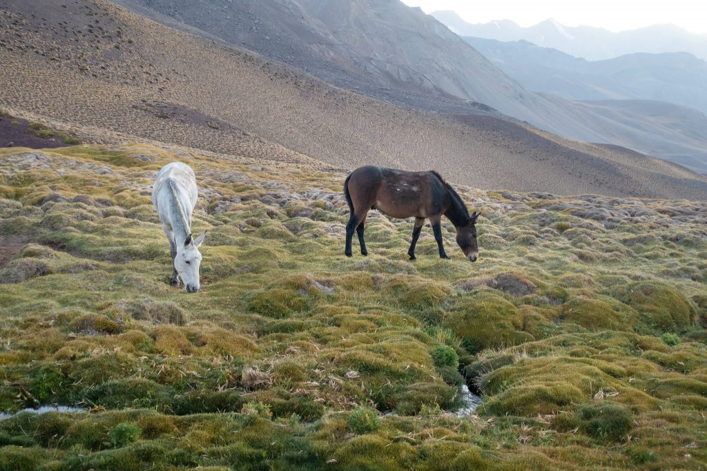 Horses grazing in the Andes Mountains
