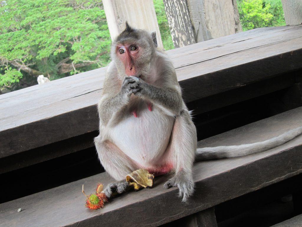 Temple monkey eating fruits