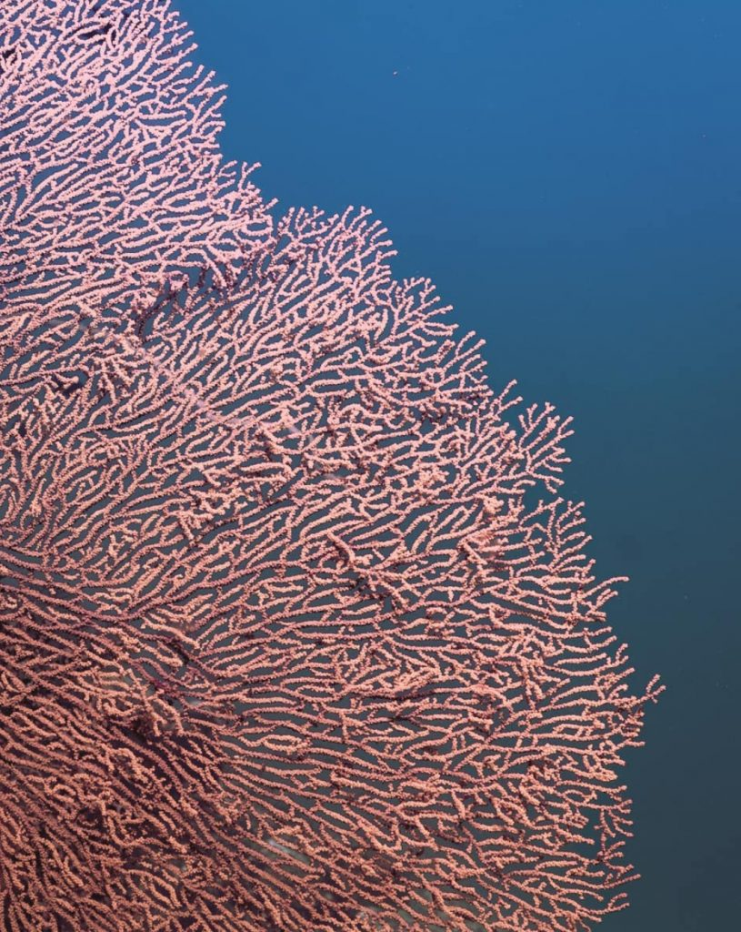 Sea fans in coral reefs. Crystal Bay, Indonesia