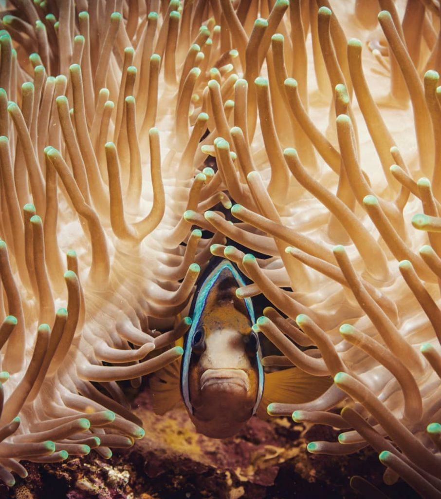 Clownfish in an anemone by Pepe Arcos.