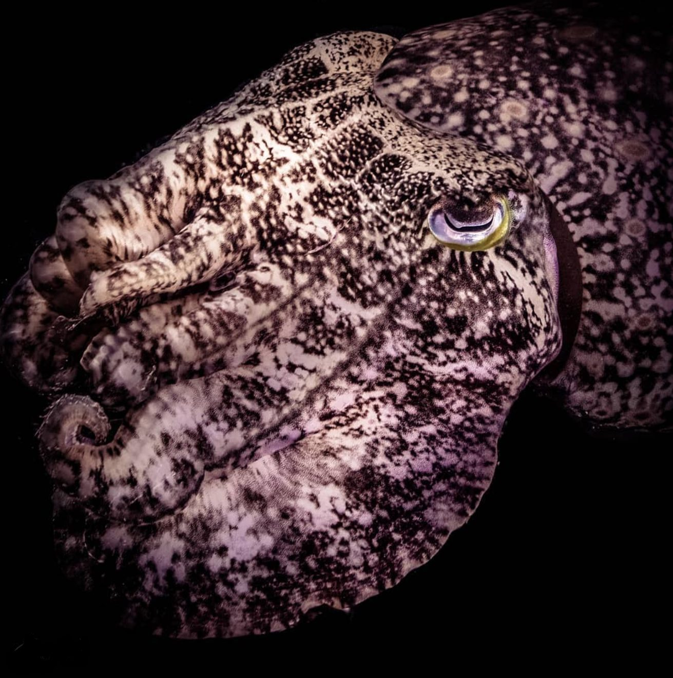 Close up of a cuttle fish in Indonesia