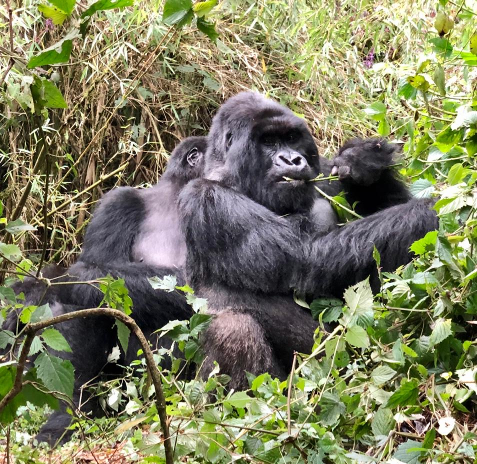Gorillas in their natural habitat