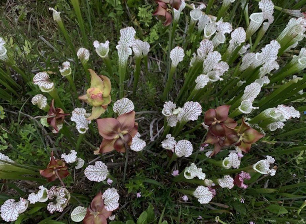 Rare native flowers of Georgia. Botanical garden.